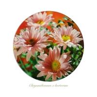 Liz Parkinson - Chrysanthemum x hortorum
