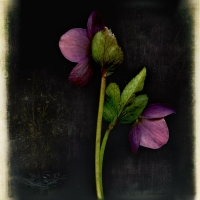 Rick Filler - Lenten Rose