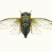 Graeme Coxon - Cicada