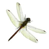 Graeme Coxon - Meadowhawk