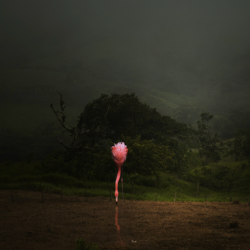 Pat  Swain - A Lost Flamingo Drinks in a Field