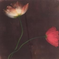 Rick Filler - Iceland Poppy