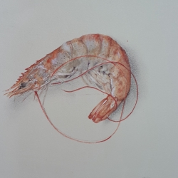 Cathy Ross - Shrimp