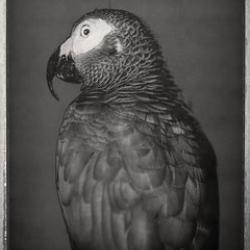 David Ellingsen - African Grey Parrot, Psittacus Erithacus