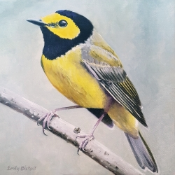 Emily Bickell - Hooded Warbler