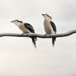 Alice  Zilberberg - Carry on Kookaburra
