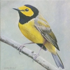 Hooded Warbler by Emily Bickell