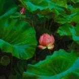 Lotus  by Caroline Ji