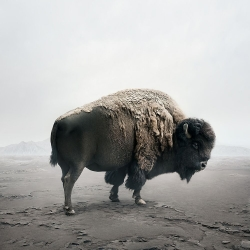 Alice  Zilberberg - Be Here Bison