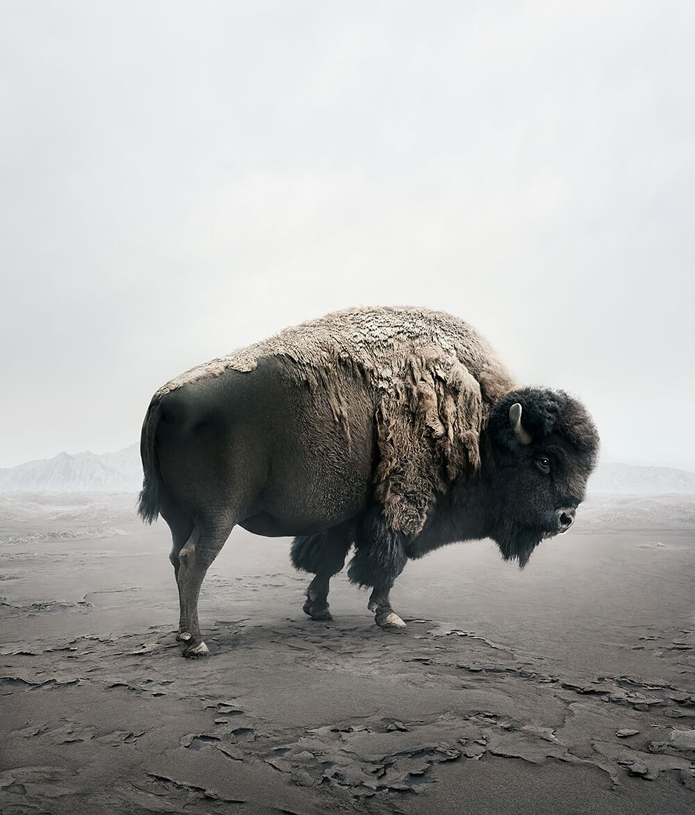Be Here Bison  by Alice  Zilberberg