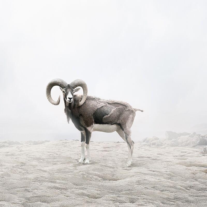 Reflecting Ram  by Alice  Zilberberg