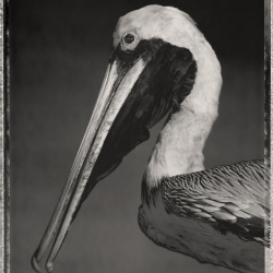 David Ellingsen - Brown Pelican, Pelecanus Occidentalis No.1
