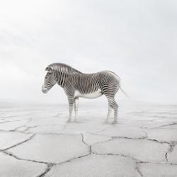 Alice  Zilberberg - Zen Zebra