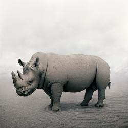 Alice  Zilberberg - Restful Rhino