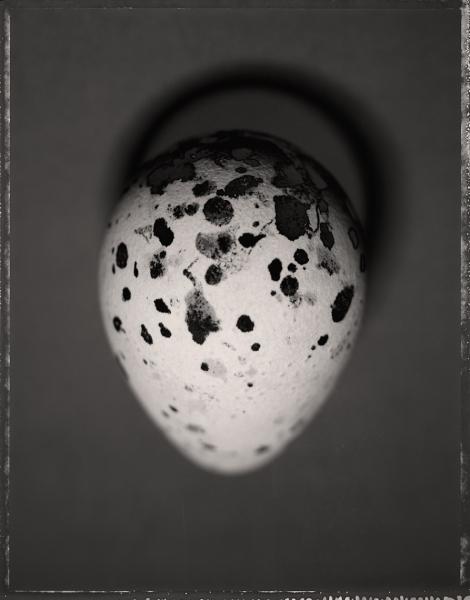 Common Murre Egg 2 by David Ellingsen